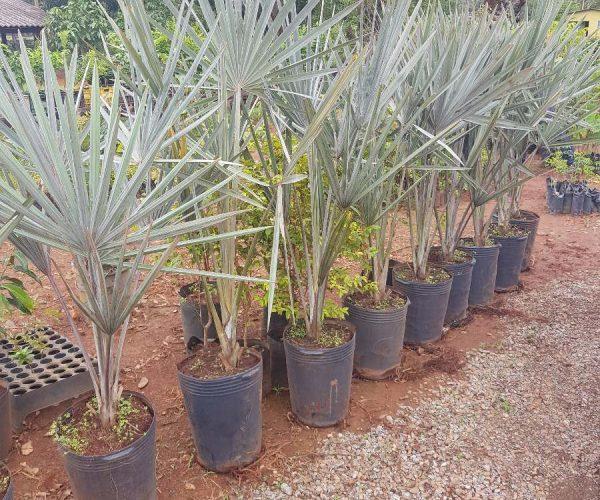 muda palmeira blue