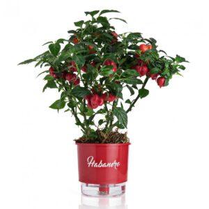 Vaso Autoirrigável Médio N03 Vermelho Linha Pimentas 16 cm x 14 cm - Habanero